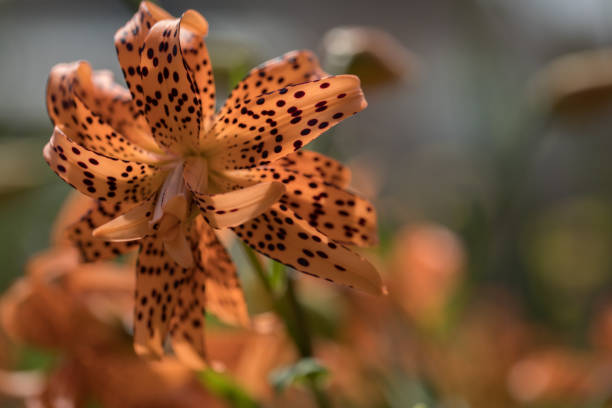 Tiger lily close up stock photo