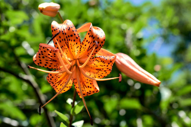 Tiger Lily flower in bloom. Beautiful orange flower with black dots in bloom under a bright summer sun stock photo