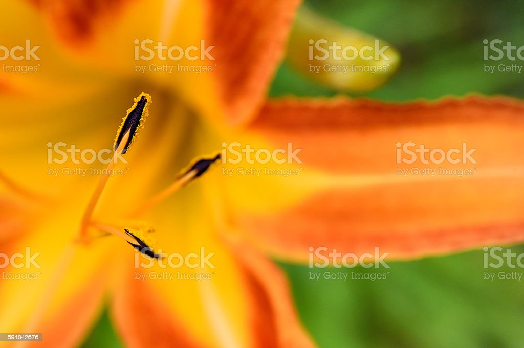 Tiger Lily from Above stock photo