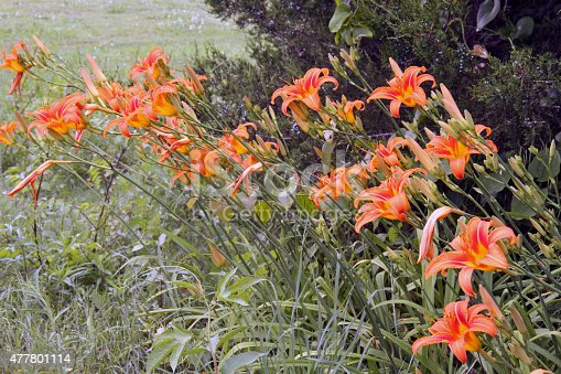 Tiger lilies growing wild alone the roadside.
