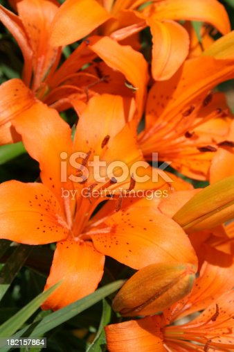 Subject: Tiger Lily in full bloom