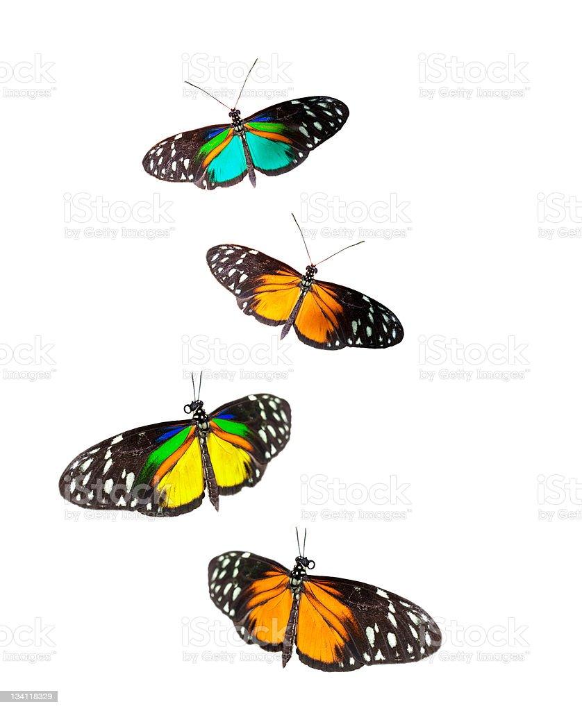 Tiger Longwing butterflies stock photo