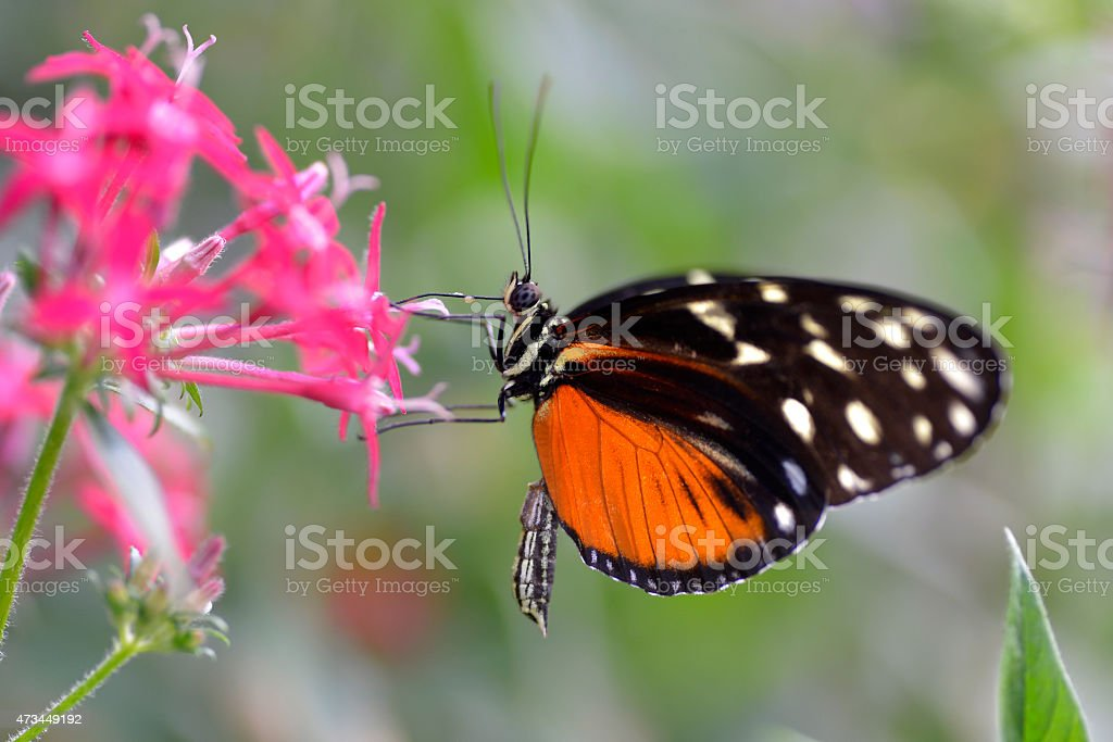 Tiger Longwing butterfly on flower stock photo