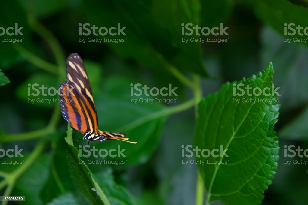 Tiger longwing butterfly standing on a leaf, ready for take-off. stock photo