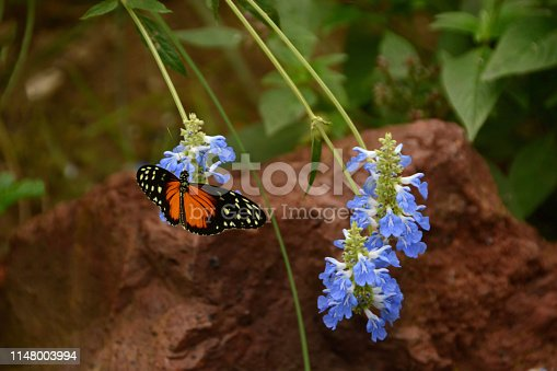 Tiger longwing butterfly with spread wings on topp of a forest spurflower.