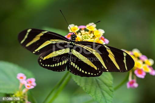 Tropical butterfly dido longwing on the flower.