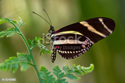 Tropical butterfly dido longwing on the leaf.