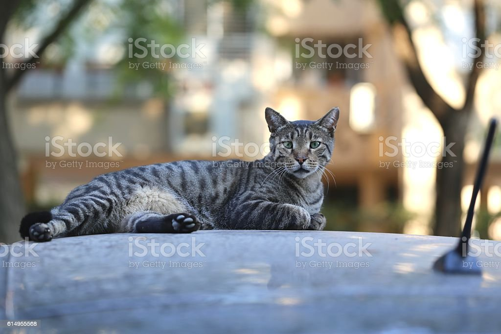 Tiger Looking Cat on a Roof Car. stock photo