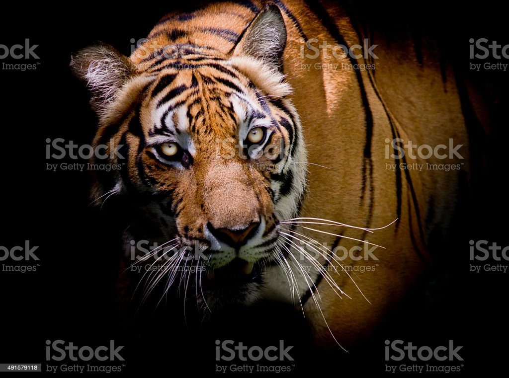 Tiger looking his prey and ready to catch it. stock photo