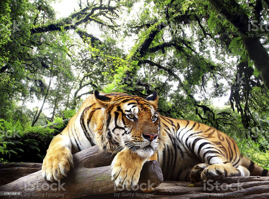 Tiger looking something on the rock in tropical evergreen forest stock photo