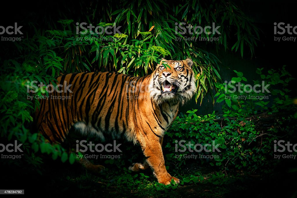Tiger Looking Up stock photo