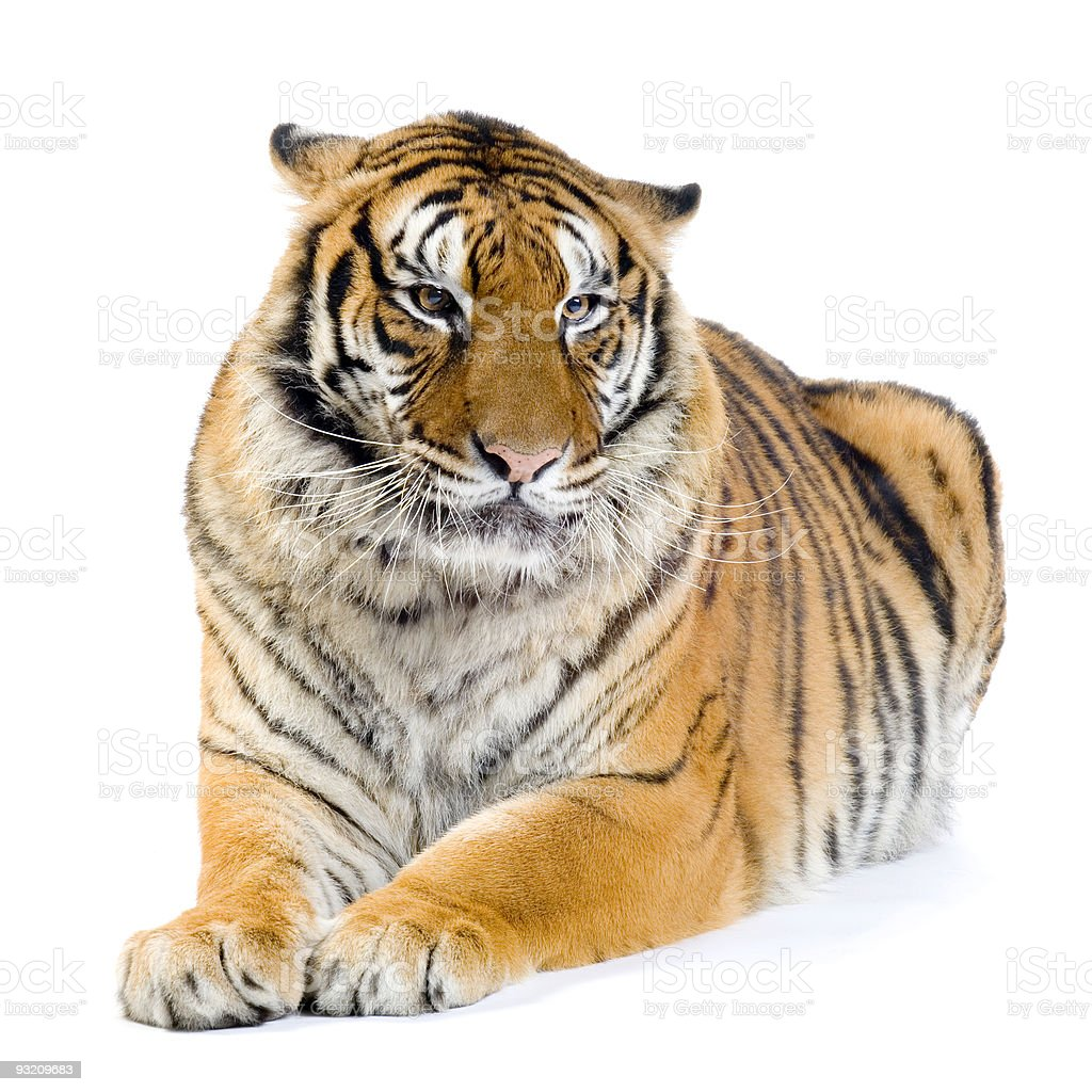 Tiger lying down royalty-free stock photo