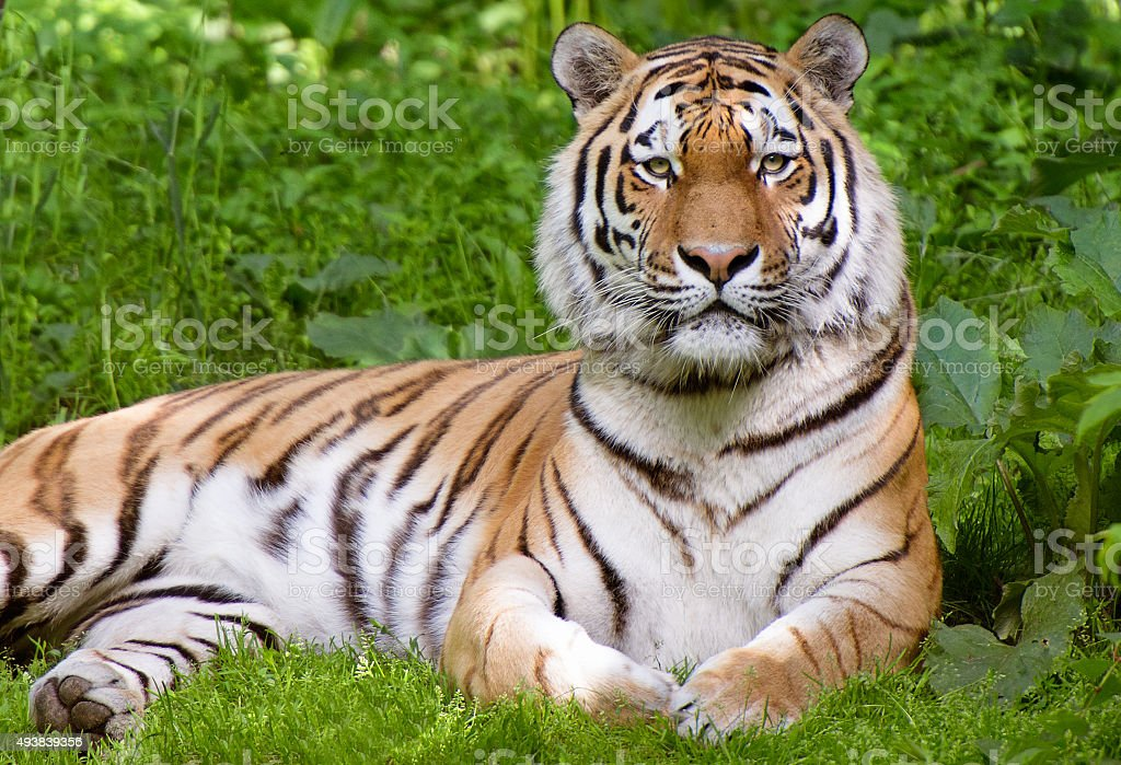 Tiger lying in grass stock photo