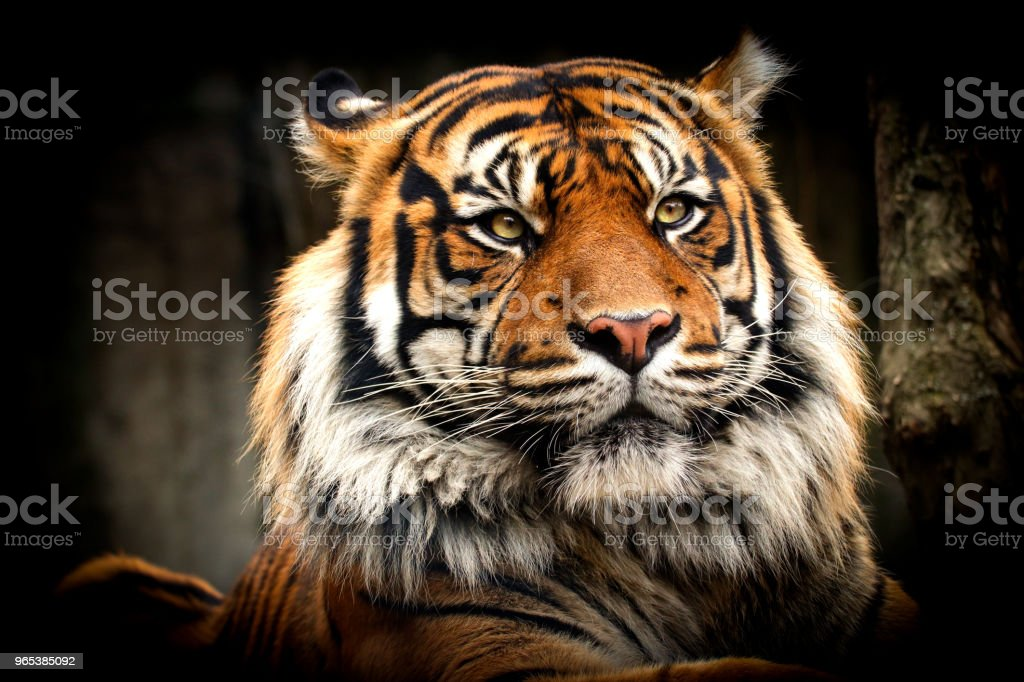 Tiger lying on the face with a large mane royalty-free stock photo