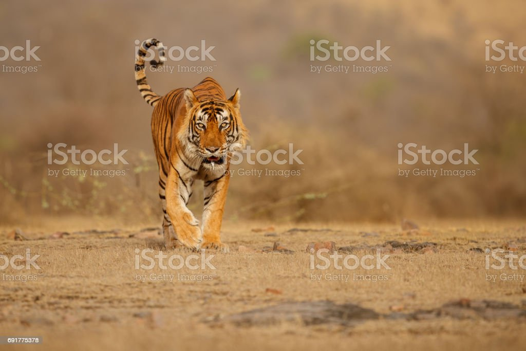 Tiger male walking head on composition stock photo