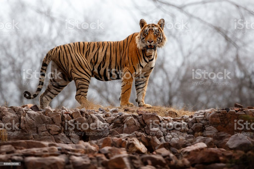 Tiger male walking through the jungle like king stock photo