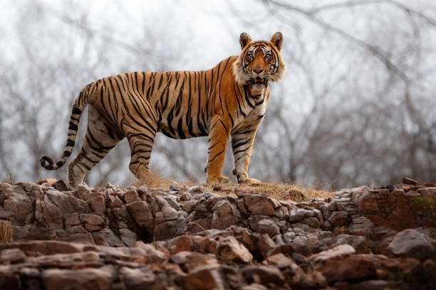 tiger male walking through the jungle like king - bengal tiger stock pictures, royalty-free photos & images