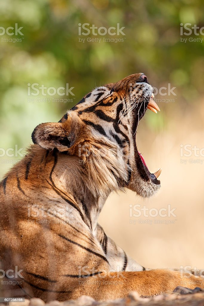 Tiger male yawns in the colourful jungle stock photo