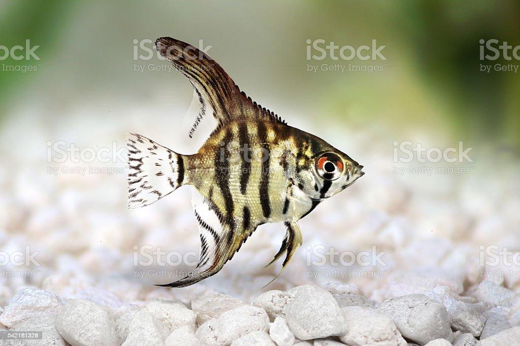 Tiger Marble Angelfish Pterophyllum Scalare Aquarium Fish Isolated