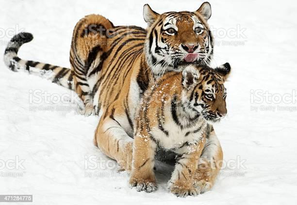 Tiger mom with cub picture id471284775?b=1&k=6&m=471284775&s=612x612&h=7fnxzela3bwhelmz 4 2pu8docvwrfmdzte2dchubws=