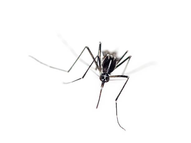 Tiger mosquito, Aedes albopictus. Advancing. stock photo