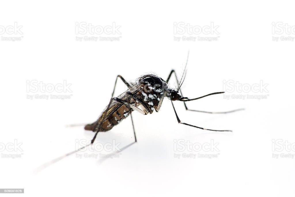 mosquito tigre, Aedes albopictus. - foto de stock