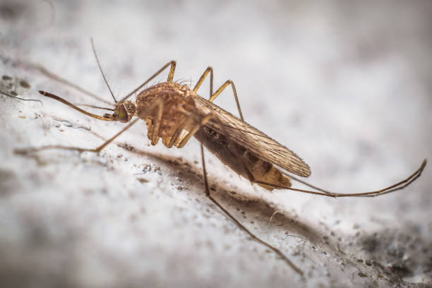 A tiger mosquito close up view stock photo
