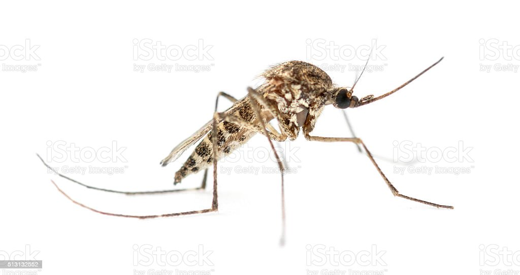 Tiger mosquito isolated on white stock photo