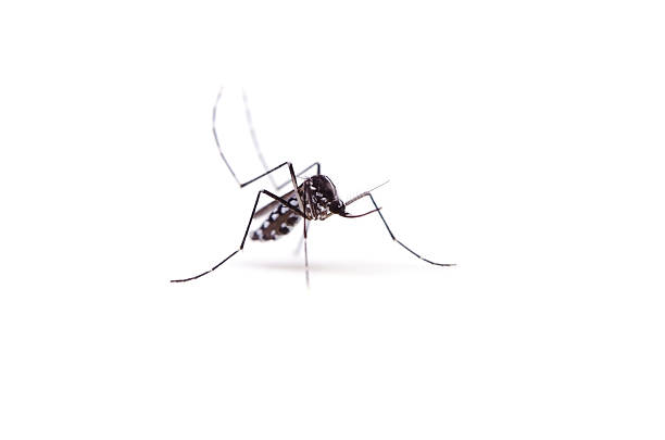 Tiger mosquito on white background stock photo