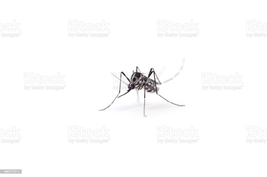 Tiger Mosquito stock photo