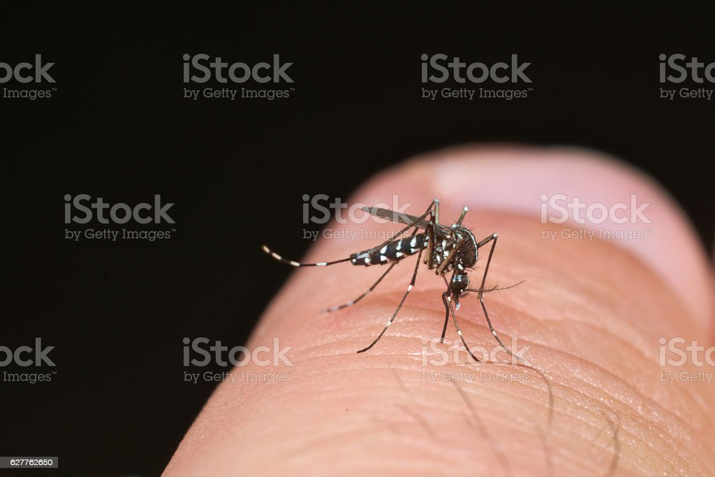 Tiger mosquito (Aedes albopictus) stock photo