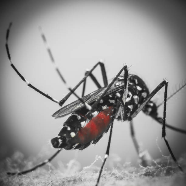 A tiger mosquito seen up close with blood stock photo