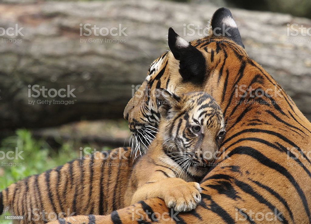 Tiger Mother and Cub stock photo