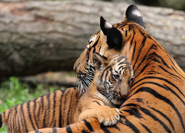 tiger mother and cub - tiger stock photos and pictures