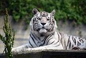 White tiger of bengal