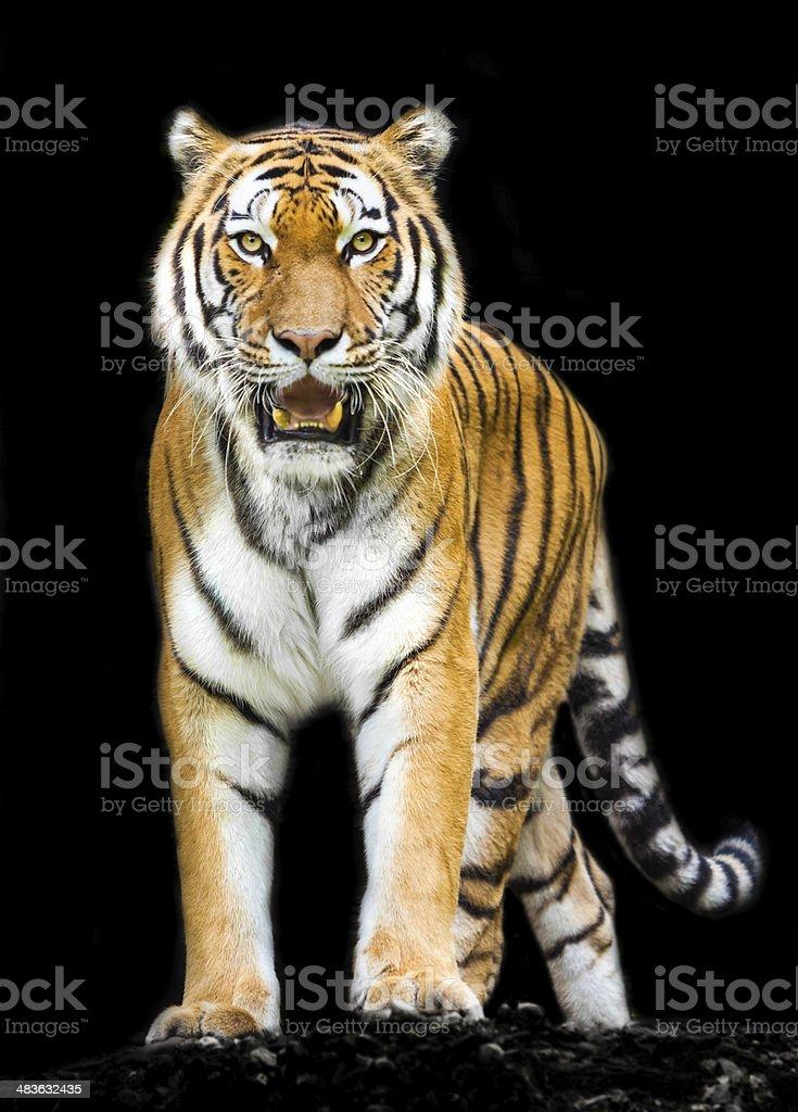 tiger on black background stock photo