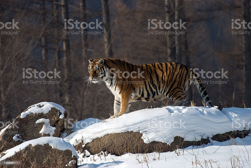 Tiger On Snow Rock stock photo