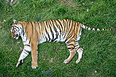 Tiger on the grass