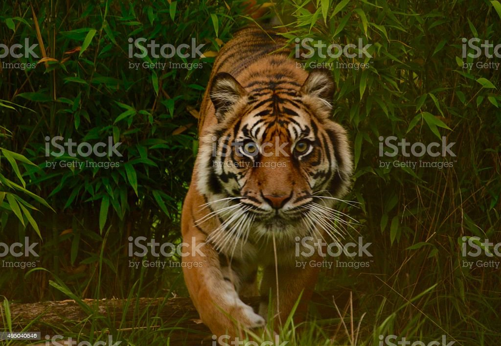 Tiger on the prowl stock photo