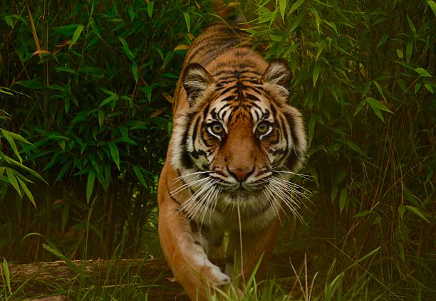 tiger on the prowl - tiger stock photos and pictures