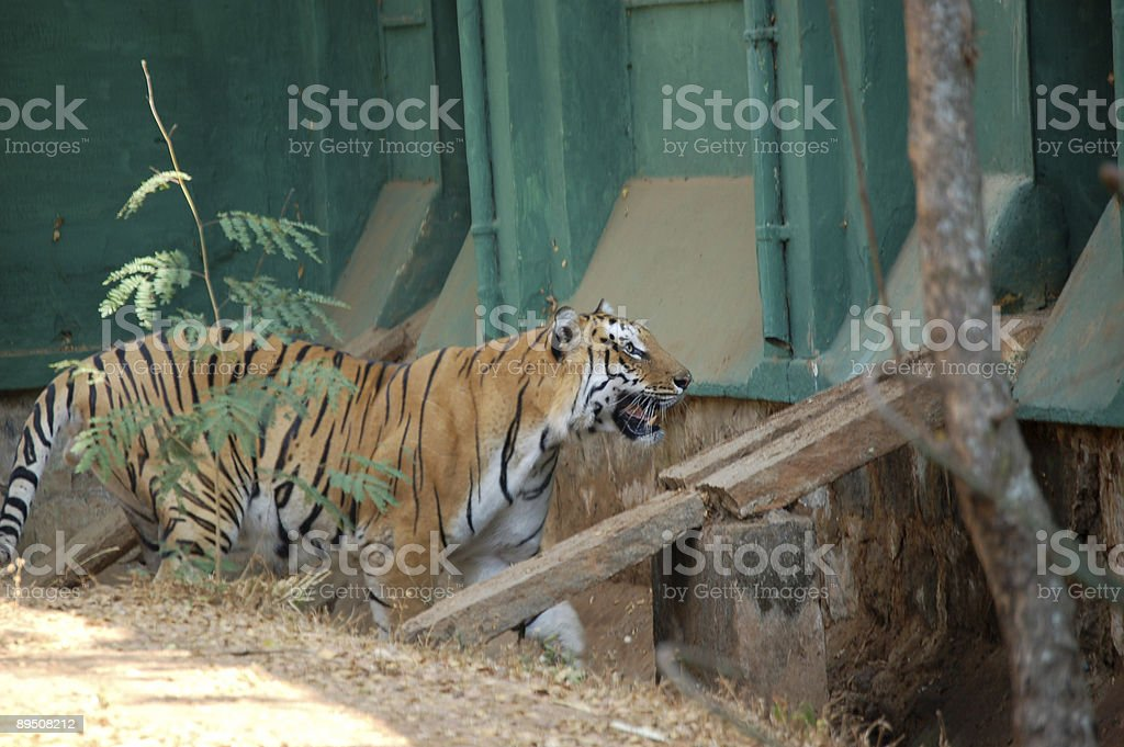 Tiger on the prowl royalty-free stock photo