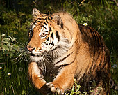 I shot this tiger at the Triple D game farm in Kalispel, MT. I shot it at 1/800 sec, f/5.6, ISO 400, at 380mm using a 100-400mm lens on a Canon 40D camera.