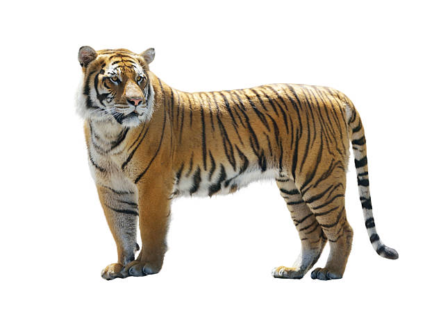tiger on white background - tiger stock photos and pictures