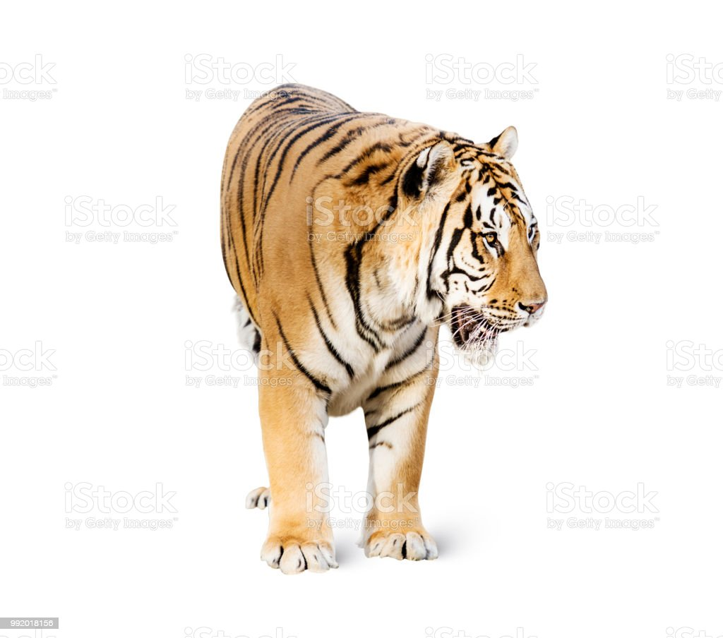 tiger on white background stock photo