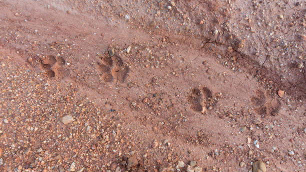 Tiger or cat foot step on mud background - foto stock