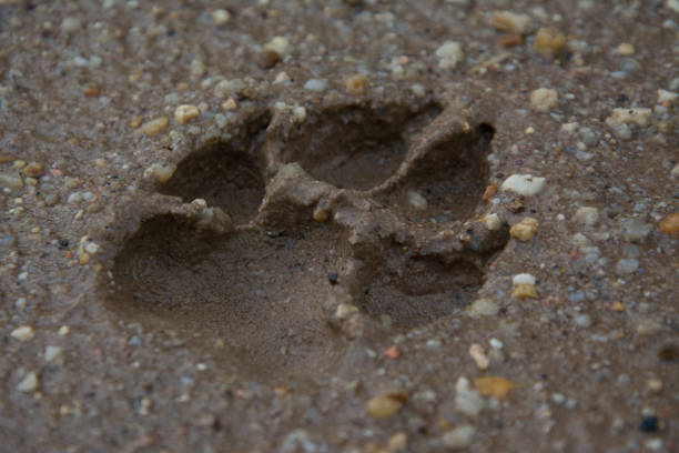 Tiger or Cat foot step on mud - foto stock