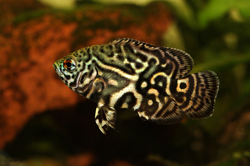 Tiger Oscar Cichlid Astronotus Ocellatus Aquarium Fish Stock Photo