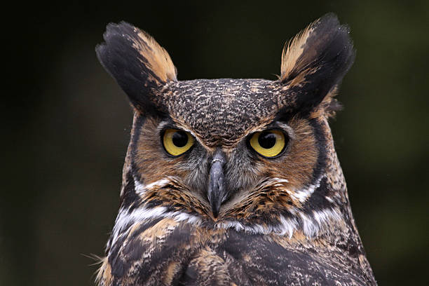 Tiger Owl Face stock photo