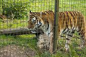 Tiger pacing backwards and forwards behind a fence.