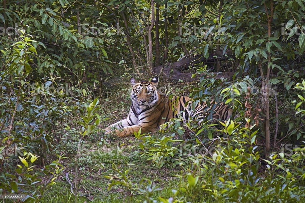 Tiger- Panthera tigris tigris. Banbehi female, Bandhavgarh Tiger Reserve, Madhya Pradesh, India stock photo